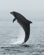 Bottlenose Dolphin (Tursiops truncatus) with Salmon