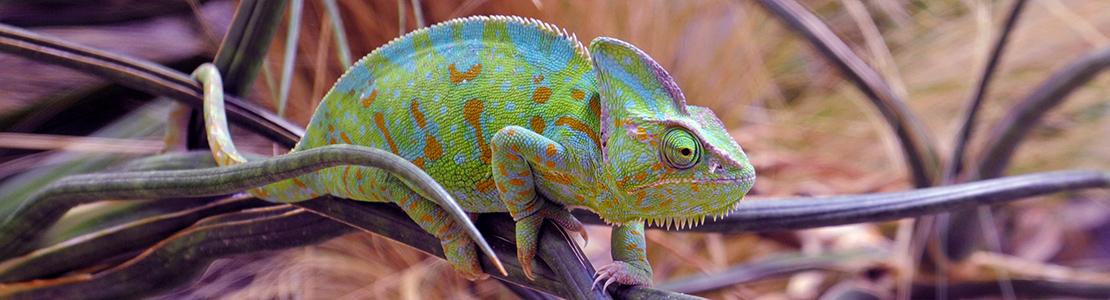 Slide-3-chameleon