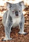 Koala Visit